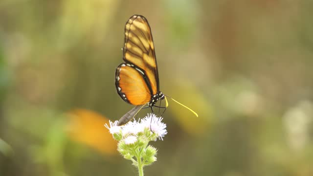 clearwing butterfly - tropical flower stock videos & royalty-free footage