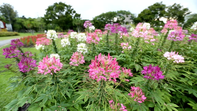 cleome spinosa in garden flew by the wind - spider flower stock videos & royalty-free footage