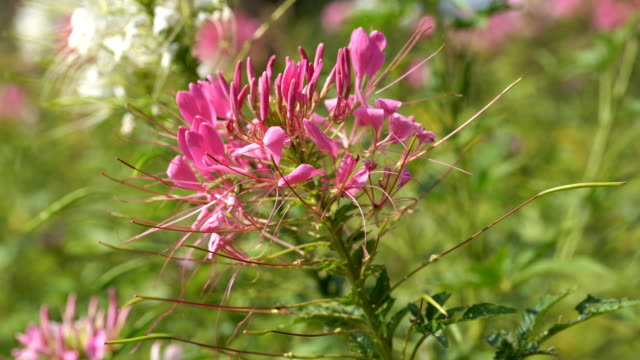 cleome spinosa or spider flower - spider flower stock videos & royalty-free footage
