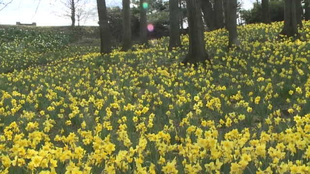 wjw cleveland oh us daffodil hill at lake view cemetery in sprintime garden cemetery remains open for people during covid19 pandemic on tuesday april... - daffodil stock videos & royalty-free footage