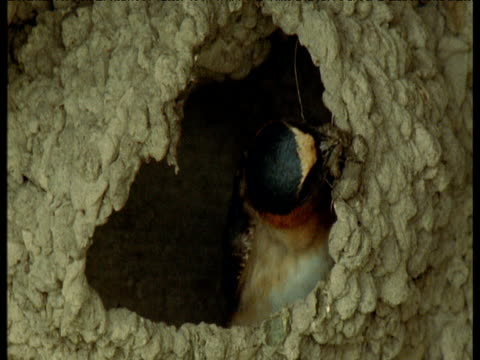 cliff swallow adds mud to its nest, nebraska - maul stock-videos und b-roll-filmmaterial