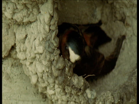 cliff swallow lands and adds mud to its nest, nebraska - maul stock-videos und b-roll-filmmaterial