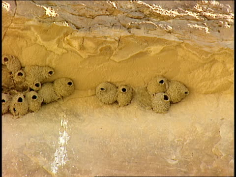 cliff swallow nests cluster along a rock wall. - chaco canyon stock videos & royalty-free footage