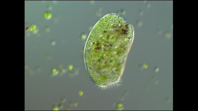 climacostomum sp. ciliate protozoan feeding on algal cells. it uses a crown of cilia (hair-like appendages) to waft algae into its mouth - ciliate stock videos and b-roll footage