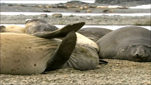 'big melt': threat to wildlife in antarctica; ext giant elephant seals lying on dry land on antarctic peninsula - antarctic peninsula stock videos & royalty-free footage