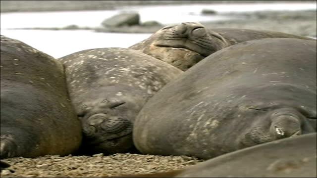 vídeos de stock, filmes e b-roll de 'big melt' threat to wildlife in antarctica huddled together elephant seals sleeping on pebbly ground - elefante marinho