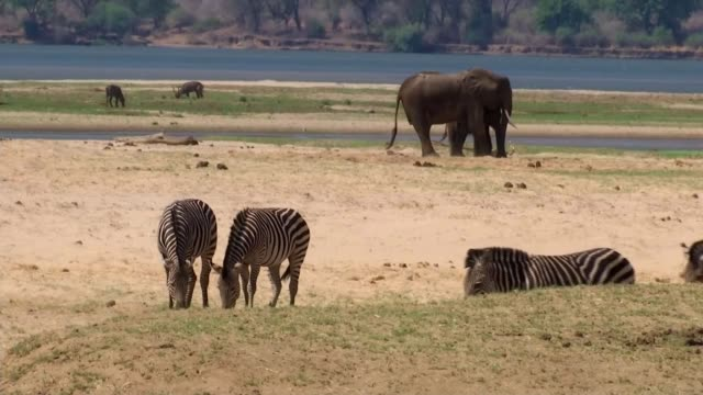 earth on the edge series: drought turns national parks into graveyards; zimbabwe; various shots of carcasses of elephants, rangers helping animal out... - drought stock videos & royalty-free footage