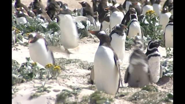 penguins under threat of extinction r15010715 families of different penguin species - flightless bird stock videos & royalty-free footage