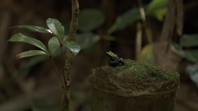 vídeos de stock e filmes b-roll de climbing mantella (mantella laevigata) frog hops from bamboo culm in forest, madagascar - bamboo plant