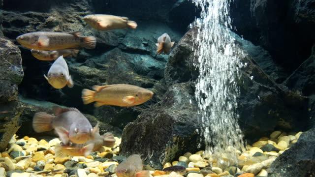 climbing perch fish or climbing gourami fish - perch fish stock videos and b-roll footage