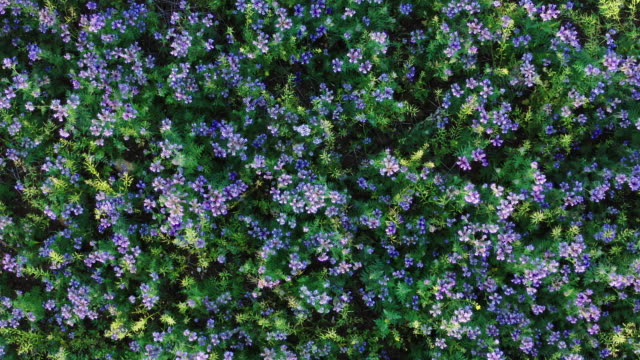 clip looking down onto a field of phacelia - stem stock videos & royalty-free footage