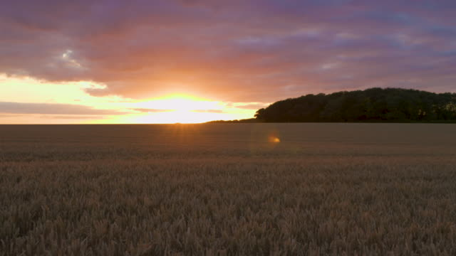 clip panning a field of wheat at sunset - motion stock videos & royalty-free footage