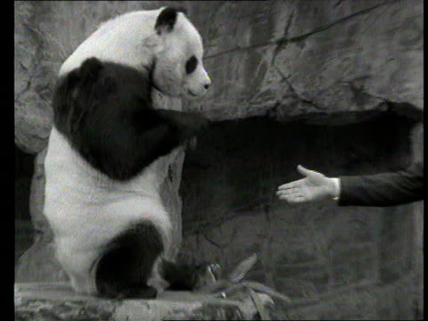 Part 1 TX ChiChi the Panda is to mate Shows ChiChi fed by keeper at London Zoo / Interview with anthropologist Desmond Morris on ChiChi's meeting...
