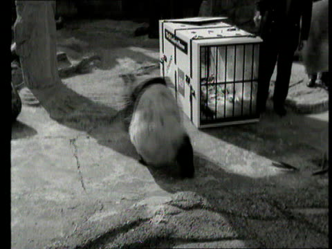 Part 1 TX London Zoo panda ChiChi is reluctantly put in travelling box cage to go to Moscow / Photocall with air hostess