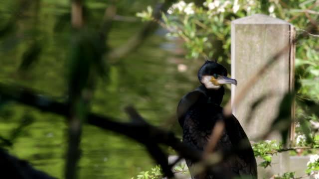 Vídeo em HD de Corvo-marinho Phalacrocorax carbo close up no fishing