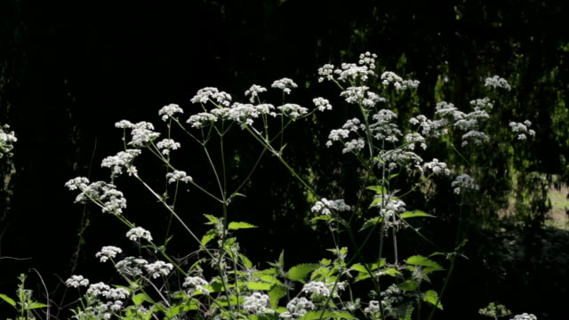 HD video clips of cow parsley Anthriscus sylvestris