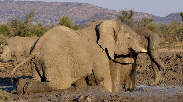 4 clips of a large female elephant playfully fighting with a young male in a muddy waterhole with entangled tusks