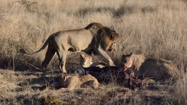 3 clips of a lion pride happily eating their kill, as the male lion stands over the carcass of a wildebeest as the lioness feasts with her two young cubs - tiere bei der jagd stock-videos und b-roll-filmmaterial