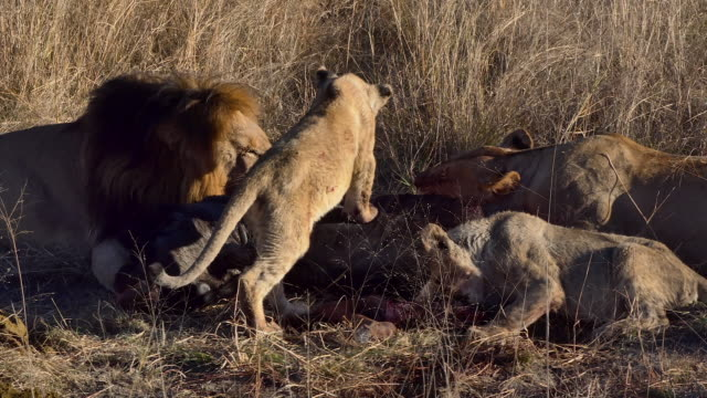 5 clips of a lion pride happily eating their kill, as the small cub plays with father over the carcass of a wildebeest as the mother feasts with other cub lion - tiere bei der jagd stock-videos und b-roll-filmmaterial