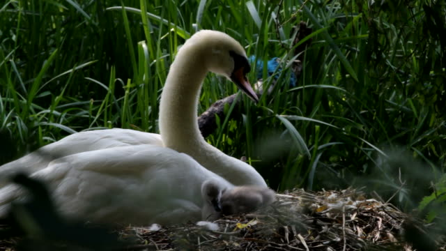 hd video female mute swan cygnus olor with cygnet - cygnet stock videos & royalty-free footage