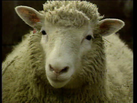 cloned dolly the sheep flares nostrils and moves towards cam in sheep pen - genetic research stock videos & royalty-free footage