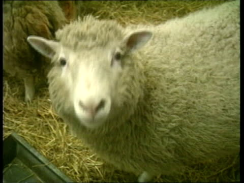 cloned sheep; itn scotland: edinburgh: roslin institute: tcms dolly the dorset sheep : tms dolly & two other sheep in pen: dolly as walks towards to... - clonazione video stock e b–roll