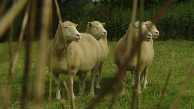 nottinghamshire ext gvs debby denise diana and daisy four cloned sheep along in field close shot one of cloned sheep reporter and professor david... - cloning stock videos & royalty-free footage