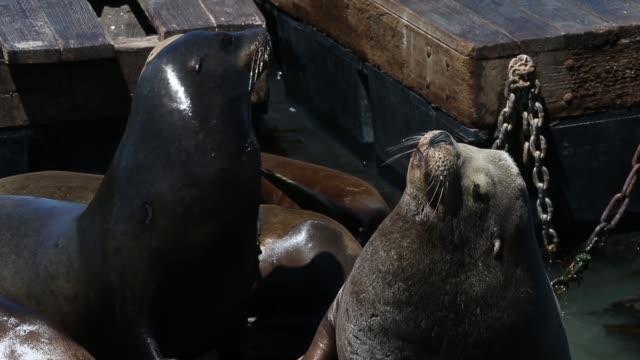 clos up of sea lions sea lions at san francisco's pier 39 on may 31 2013 in san francisco california - aquatic mammal stock videos & royalty-free footage