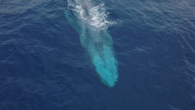 close aerial shot of blue whale passing, tilt down - blauwal stock-videos und b-roll-filmmaterial