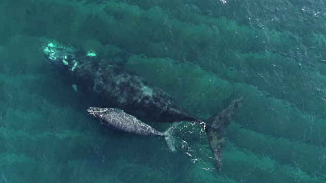 close aerial view of a southern right whale and her calf in shallow water, nuevo gulf, valdes peninsula, argentina. - tail stock videos & royalty-free footage