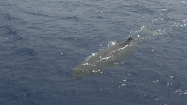 Close aerial view of sperm whale swimming in the ocean