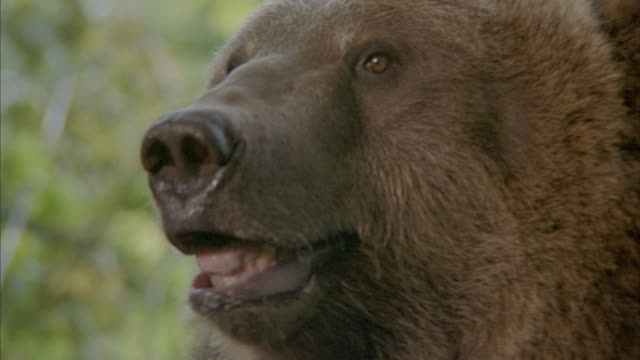 stockvideo's en b-roll-footage met close angle of bear, especially his head and face. see bear's teeth and open mouth, near end bear is fed apple slice on stick. at end, bear walks away. - beer
