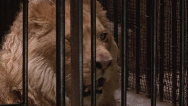 close angle of male lion in cage. see iron bars in foreground and stone walls in background. see lion lying in back of cage get up and walk back and forth in front of cage. lion lies down and begins clawing and biting at cage bars. - lion stock videos & royalty-free footage