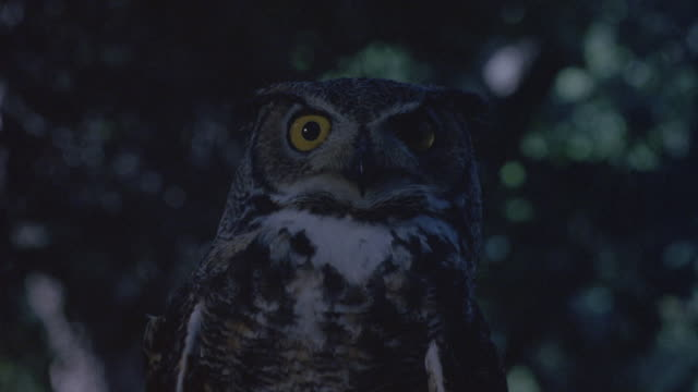close angle of owl with forest in background, forest out of focus. owl turns head side to side. hand touches owl from bottom left foreground at start. - owl stock videos & royalty-free footage