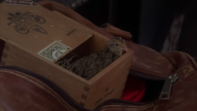 close angle of small wood box with little bird inside. box inside larger leather bag or suitcase. box left slightly open so bird can breathe. - young animal stock videos & royalty-free footage