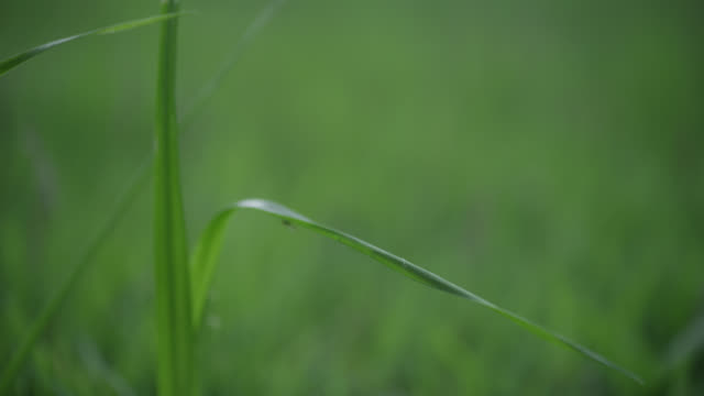close angle of water dropping on blade of grass. - blade of grass stock videos & royalty-free footage