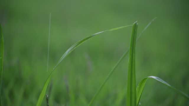 close angle of water dropping on blade of grass. - blade of grass stock videos and b-roll footage