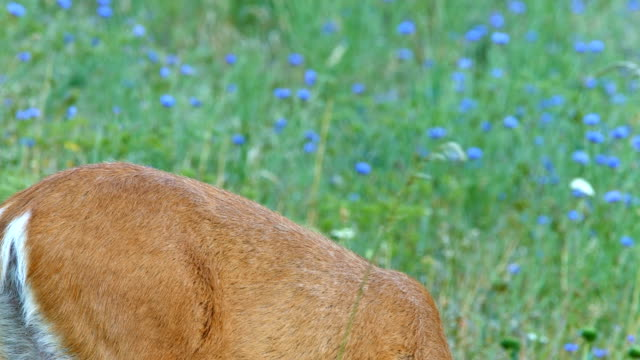 close back from behind and raises head north american blacktail mule deer doe grazing in wildflower meadow in the columbia river gorge near rowena crest - animal's crest stock videos and b-roll footage