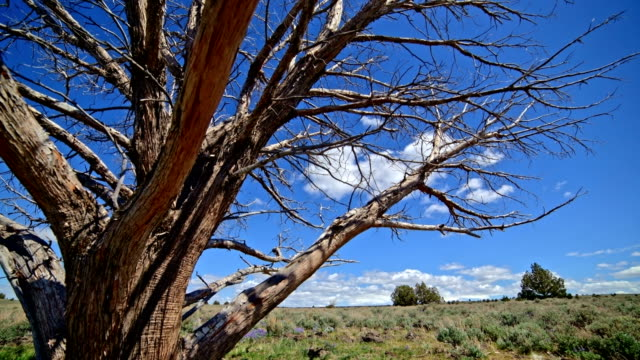 close dead dry juniper snag tree under blue sky and puffy clouds in the desert with sagebrush south steens mountain near malheur national wildlife refuge - oregon us state stock videos & royalty-free footage