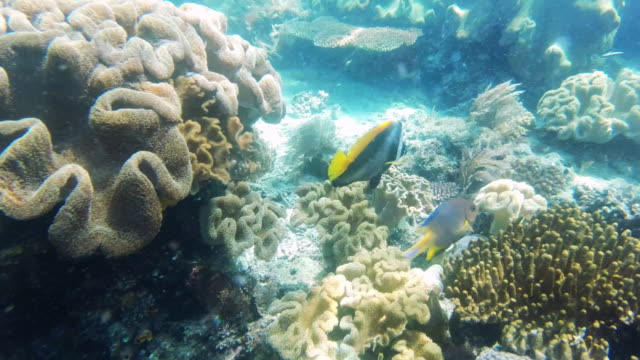 close encounters of the fishy kind - butterflyfish stock videos & royalty-free footage