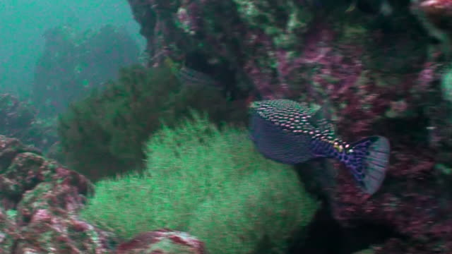Close in view of a box fish swimming against a coral reef wall, Darwin Island, Galapagos Islands, Ecuador.