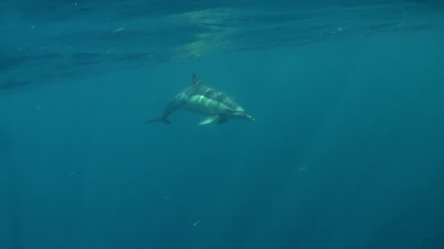 close in view of a common dolphin swimming past, taken during the sardine run off the east coast of south africa. - common dolphin stock videos & royalty-free footage