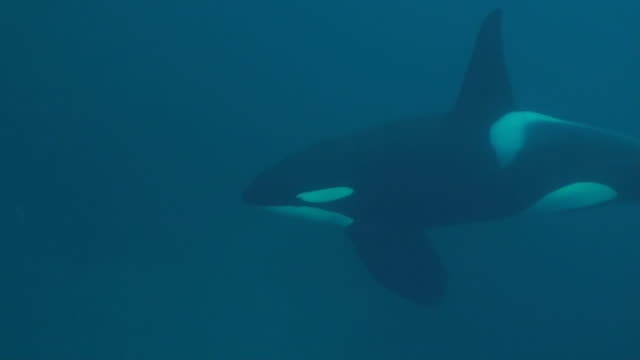 vidéos et rushes de close in view of a large male orca swimming past, senja area of northern norway. - épaulard