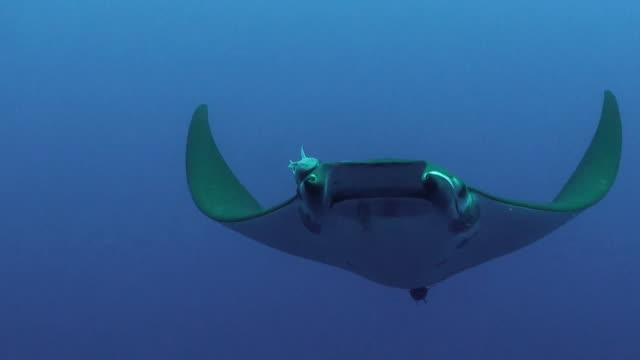 close in view of a mobula, or devil, ray swimming at the camera at the princess alice sea mount near pico island in the azores. - manta ray stock videos and b-roll footage