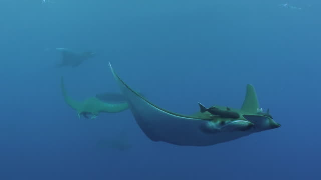 Close in view of a mobula ray and it's remoras as a school of mobulas swims past at the Princess Alice Sea Mount, The Azores, Portugal.