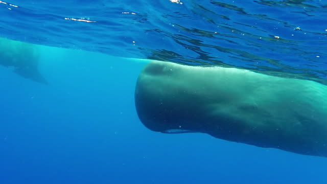 Close in view of a sperm whale swimming along the surface, then the pod dives, north western coast of Mauritius.