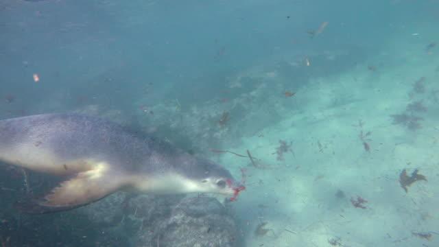 close in view of an australian sea lion swimming in shallow water, neptune islands, south australia. - south australia bildbanksvideor och videomaterial från bakom kulisserna