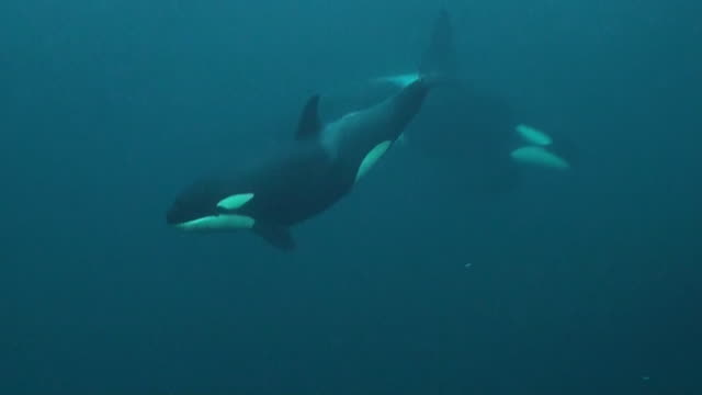 vidéos et rushes de close in view of an orca calf swimming by, andenes fjord area of northern norway. - épaulard