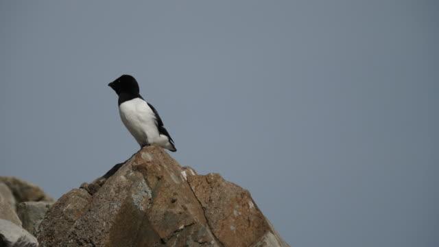 a close look of a little auk, varsolbukta, van keulenfjord - auk stock videos & royalty-free footage