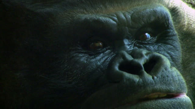 Close on a beautiful Gorilla's face.